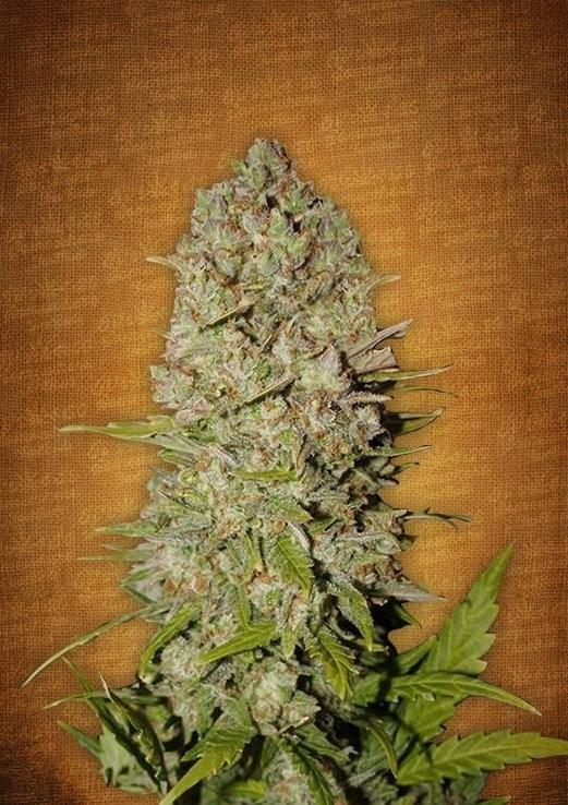 Download MonterreyCannabis.com Venta de Marihuana a domicilio en ...