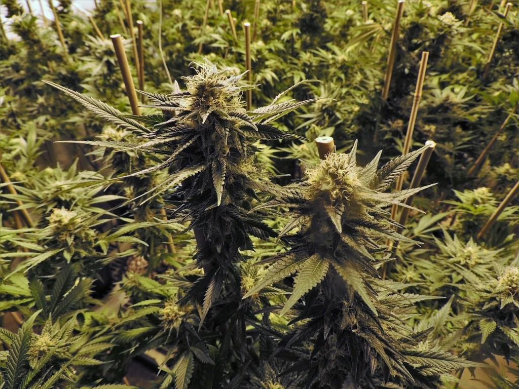 Grow Cannabis Indoors Australia