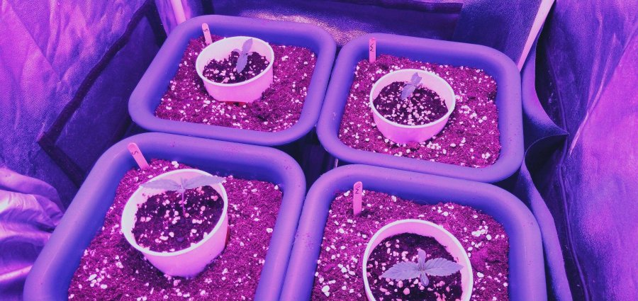 Cannabis seedlings on the 10th day indoors