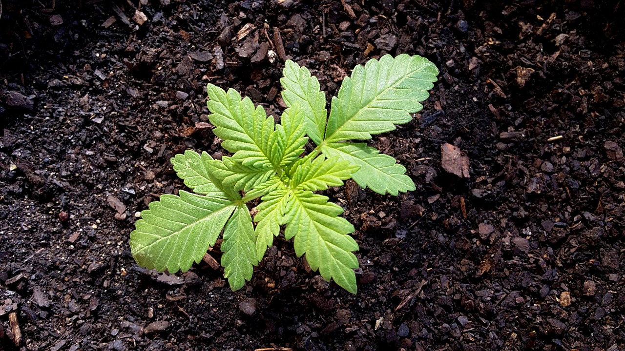 Cannabis Growing Basics