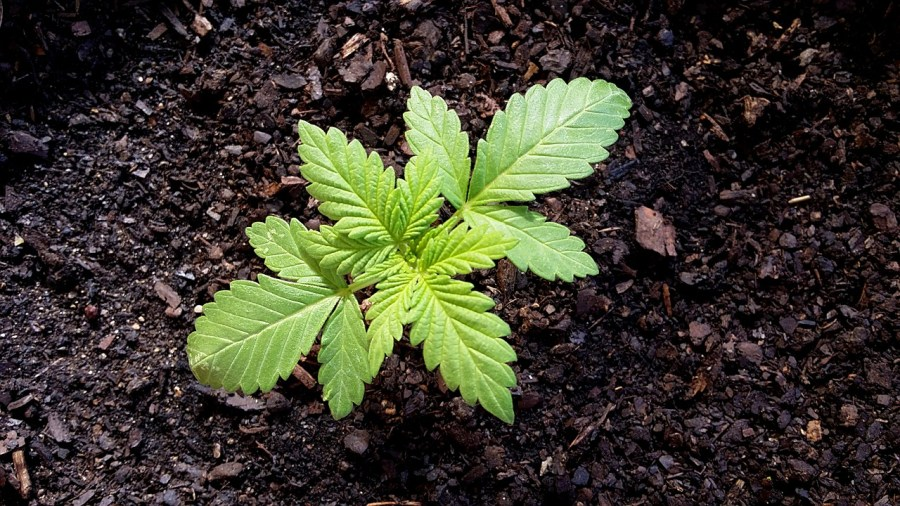 Cannabis Growing Basics