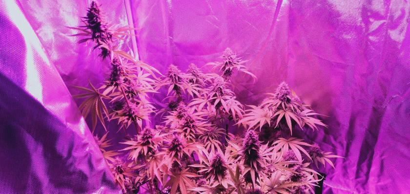 Beautiful cannabis plants growing inside tent