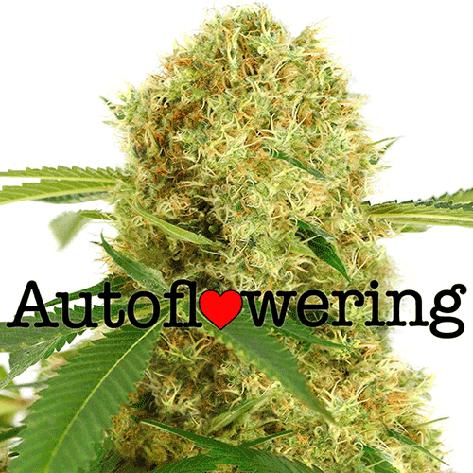 White Widow Autoflower Cannabis Seeds Australia
