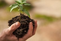 craft vs corporate cannabis