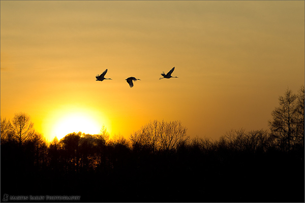 Sunset Flight of the Cranes