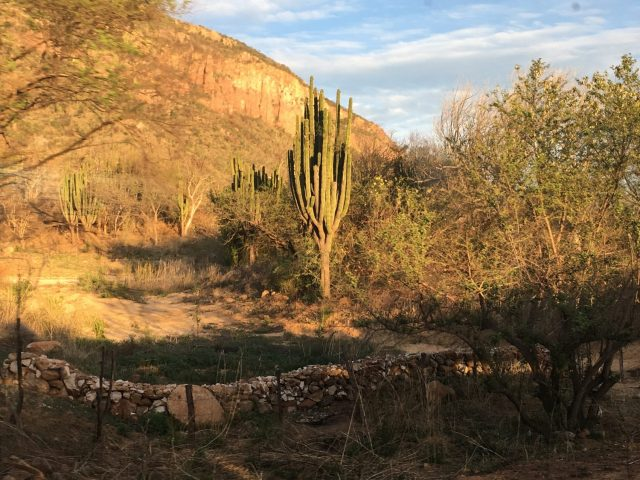 Giant Cacti in Copper Canyon, Mexico