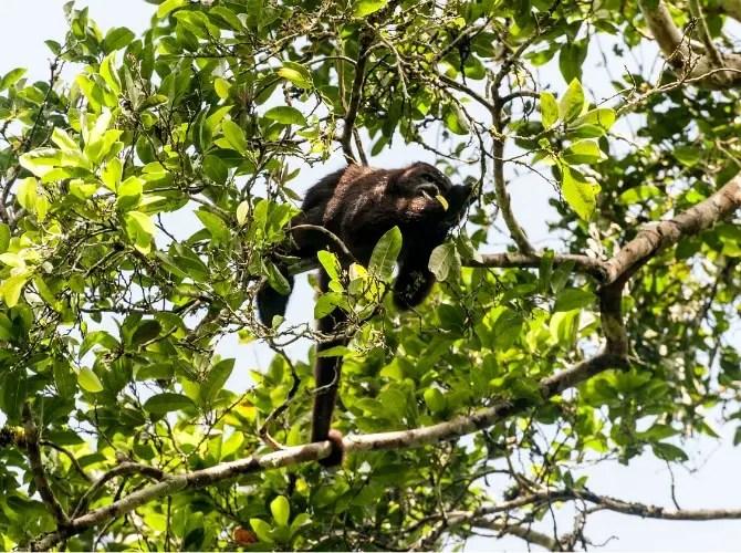 Howler Monkey at Tikal