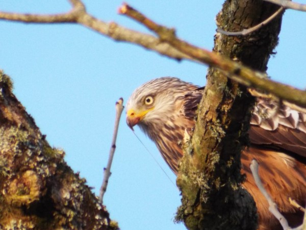 A photo of a red kite in the ash tree at the entrance to Canvas and Campfires