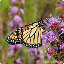 Butterflies are so majestic flying through your garden. Learn how to attract more.