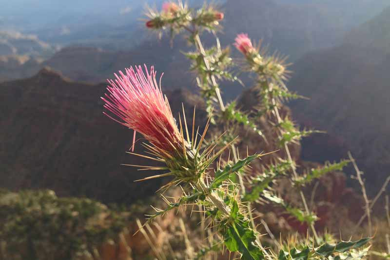 thistle-bloom-on-grandview-trail