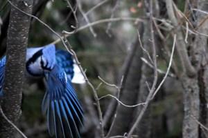 Blue Jay - March 2015 -  Bob Agar, Photographer.