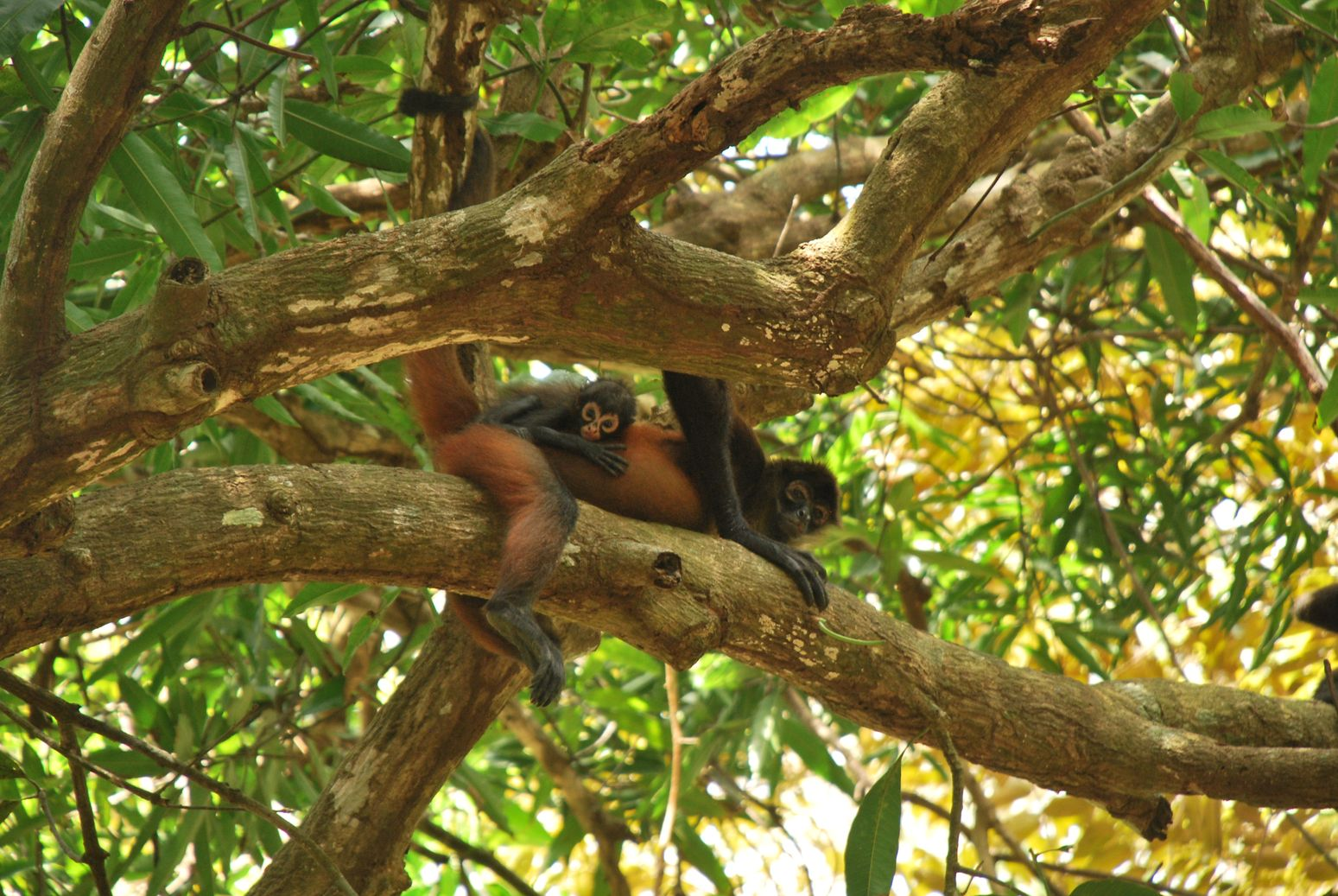 Costa-Rica Corcovado Mono