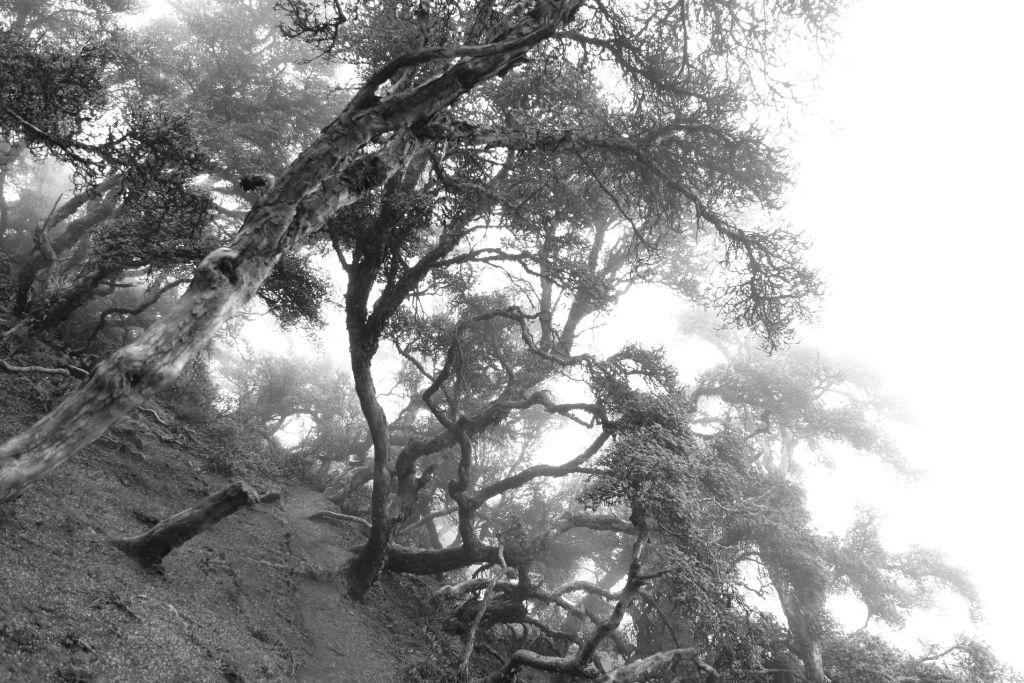 Chimborazo Polylepis