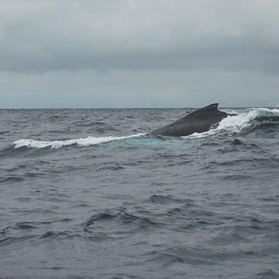 Wale Ecuador