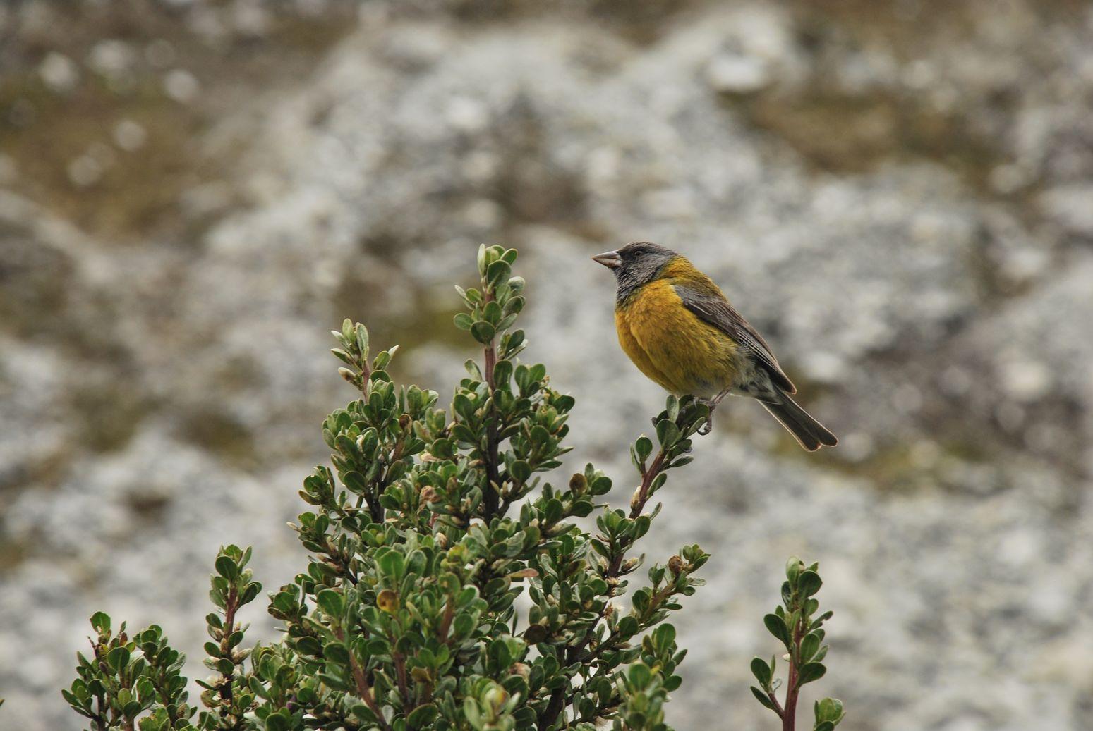Bird_Huaraz
