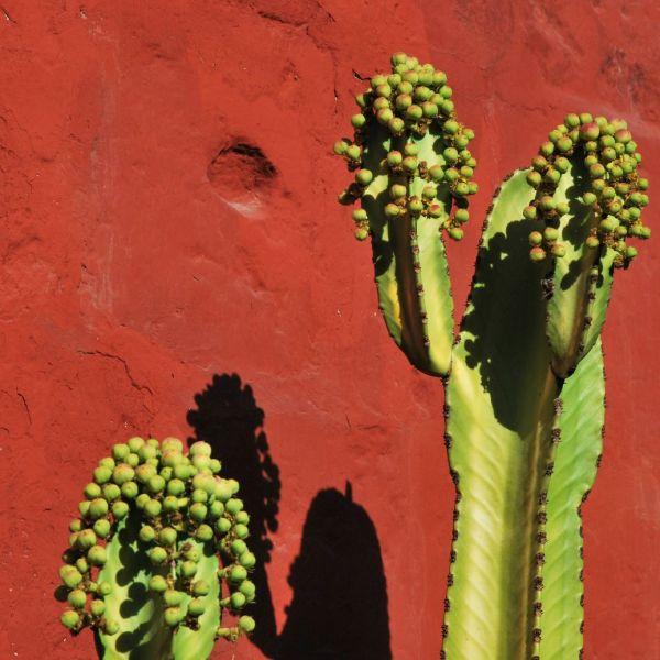 Cactus_Perou