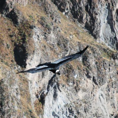 Condor_Colca