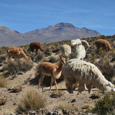 Llamas_Perou