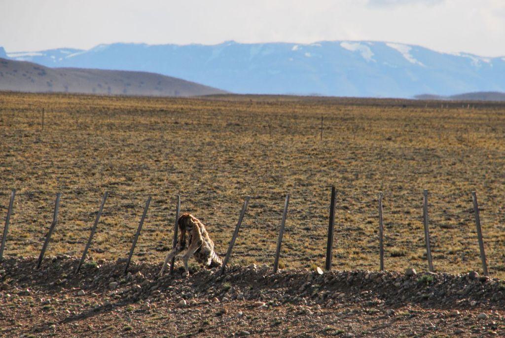 Patagonie_Dead guanaco