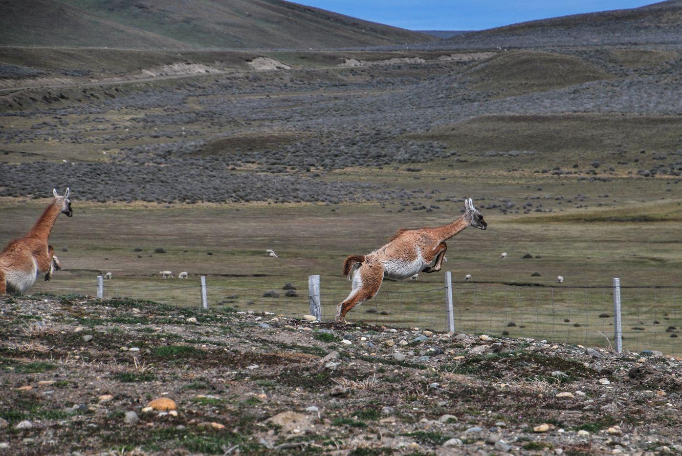 Ushuaia_vigogne