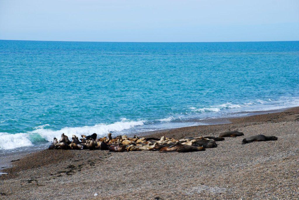 Chubut_Lions de mer