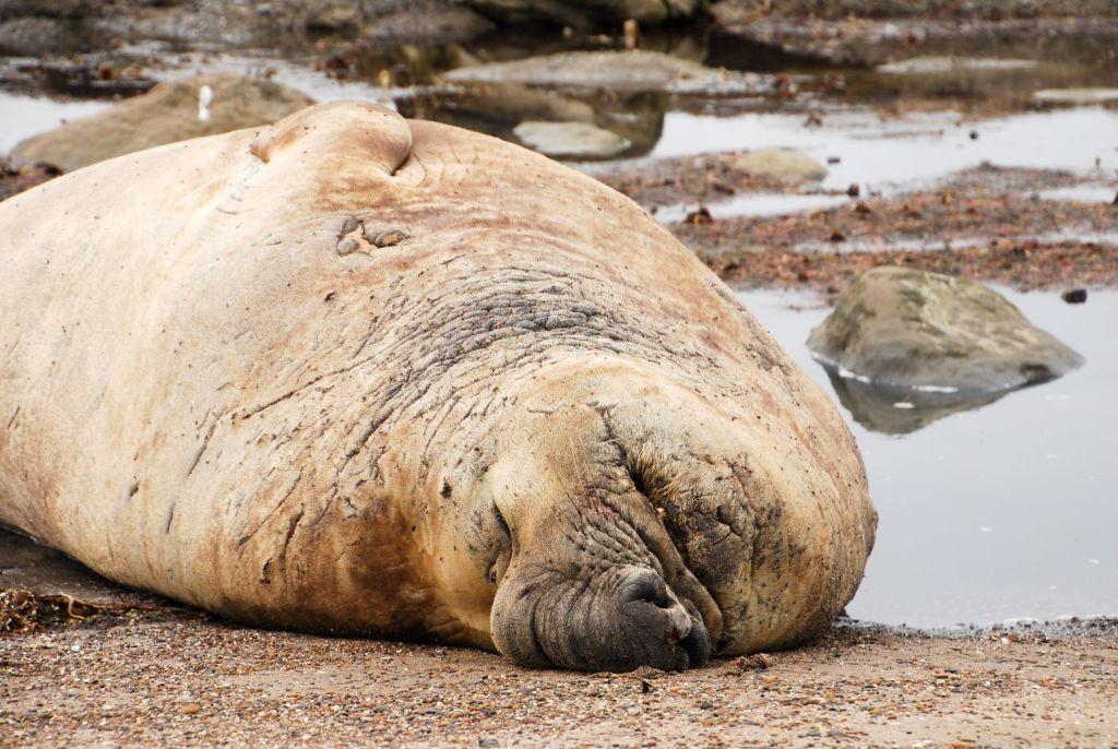 ARG_Chubut Elephant de mer (1)