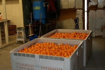 The Capay Satsuma Mandarins Farm