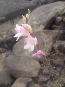 Autumn Painted Lady (Gladiolus monticola) on slopes of Devil's Peak, Table Mountain