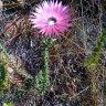 Common Paperflower