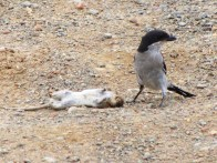 Fiscal Shrike with Striped Mouse, Cederberg