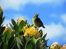 Juvenile-female Orange-breasted Sunbird