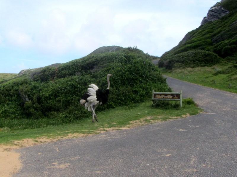 Male Ostrich, Cape Point Nature Reserve