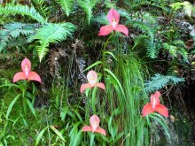 Red disas (Disa uniflora), Myburgh's Waterfall Ravine