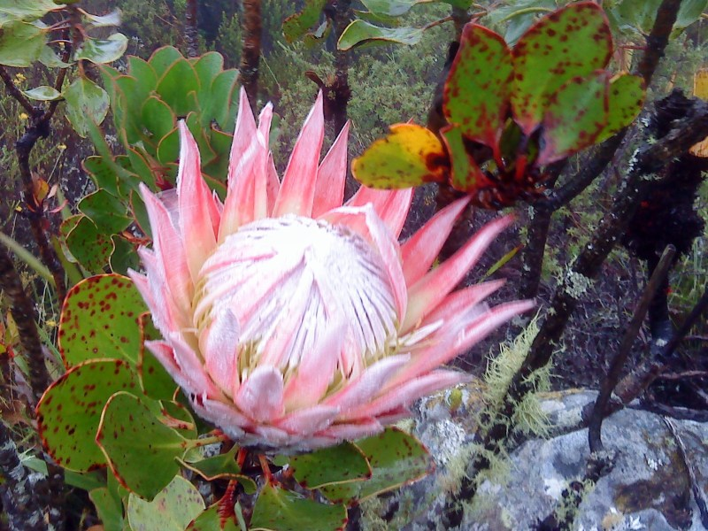 King Protea on Table Mountain, March
