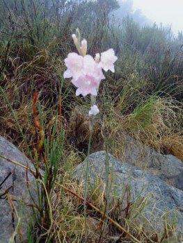 Autumn Painted Lady, Gladiolus monticola