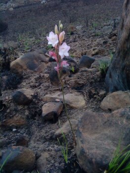 Autumn Painted Lady (Gladiolus monticola) about one month after the big fire on Devil's Peak