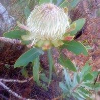 Wagon Tree (Protea nitida)