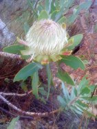 Wagon Tree (Protea nitida)