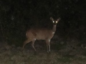 Bushbuck in Nature's Valley, Garden Route, Western Cape