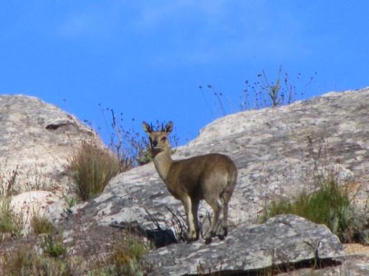 Klipspringer, Oreotragus oreotragus, Groot Winterhoek