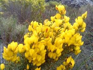 Cape Gorse, Aspalathus capensis