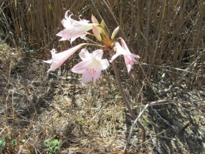 March Lily, Amaryllis belladonna