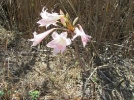 March Lily, Amaryllis belladonna
