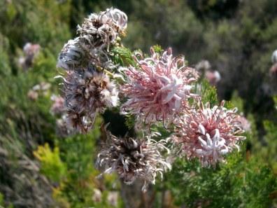 Protea serruria, Beaverlac, Cederberg