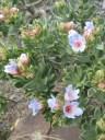 Smooth-leaved Bush Bugloss, Lobostemon glaucophyllus