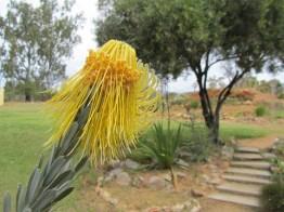 Rocket Pincushion (Leucospermum reflexum), Ramskop Wild Flower Garden