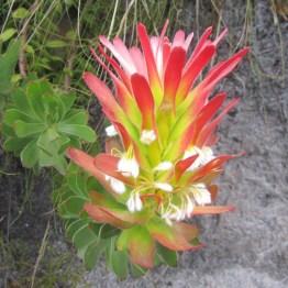 Pagoda Bush flowers (Mimetes cucullatus), Perdeberg