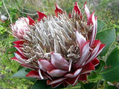 King protea, Protea cynaroides Day #2 Outeniqua Hiking Trail
