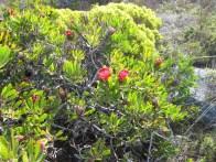 Protea obtusifolia