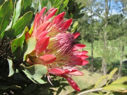 Broad-leaved Sugarbush, Protea eximea